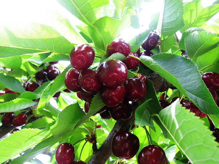IMG_0396-cherries-on-tree