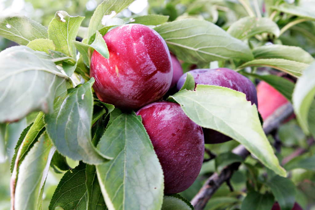 Plums_in_tree