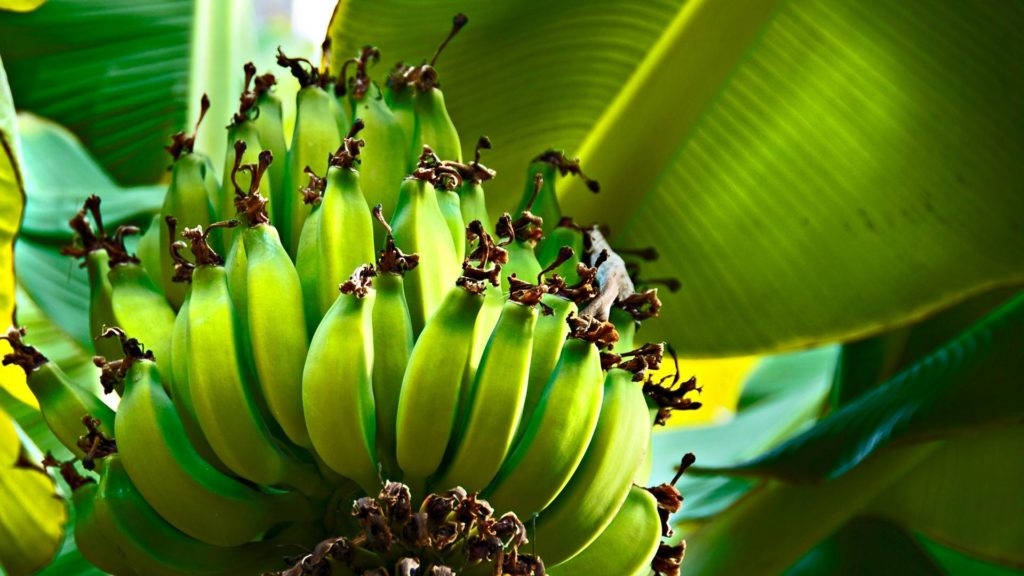 bananas_green_fruits_tree_hd-wallpaper-25906