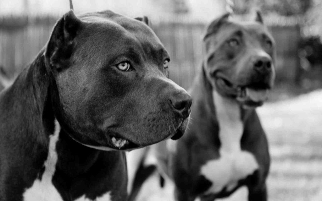 en-guzel-pitbull-kopek-resimleri-fotograflari-05