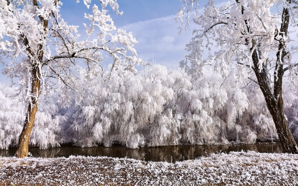 Weeping-willows-in-snow